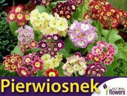Pierwiosnek omszony, mieszanka  (Primula x pubescens) nasiona 0,1g
