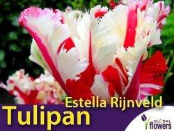Tulipan Papuzi 'Estella Rijnveld' (Tulipa) CEBULKI 4 szt