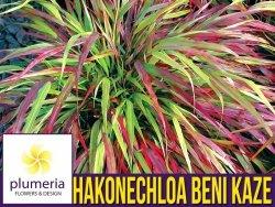 Hakonechloa macra BENI KAZE- Bambusowa trawa- Sadzonka