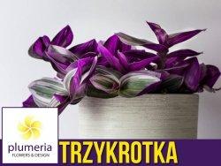 Trzykrotka NANOUK (Tradescantia albiflora) Roślina domowa. Sadzonka P12 - M