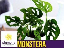 Monstera MONKEY MASK (Monstera adansonii) Roślina domowa. Sadzonka P12 - M