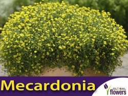 Mekardonia 'Gold Dust' (Mecardonia) Sadzonka