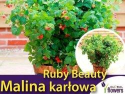 Malina karłowata 'Ruby Beauty' (Rubus idaeus) Sadzonka