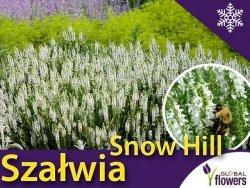 Szałwia omszona 'Snow Hill' (Salvia nemorosa) Sadzonka