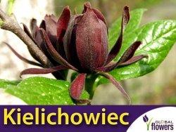 Kielichowiec wonny (Calycanthus floridus) Sadzonka C1