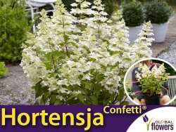 Hortensja bukietowa CONFETTI PBR (Hydrangea macrophylla) Sadzonka C1