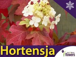 Hortensja dębolistna 'Burgundy' (Hydrangea quercifolia) Sadzonka