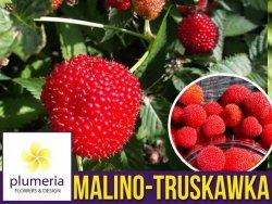 Malino-truskawka (Rubus illecebrosus) 3 letnia Sadzonka C2