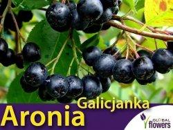 Aronia czarnoowocowa GALICJANKA (Aronia melanocarpa) 3letnia Sadzonka 60-90cm