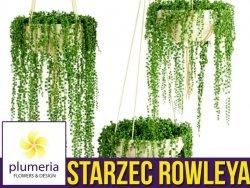Starzec ROWLEYA sznur pereł (Senecio rowleyanus) Roślina domowa. Sadzonka P14 - L