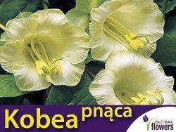 Kobea Pnąca biała (Cobaea Scandens) nasiona 6 sztuk