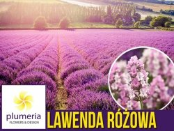 Lawenda RÓŻOWA (Lavandula angustifolia) Sadzonka C1,5
