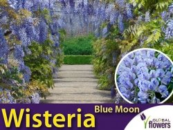 Wisteria kentacka BLUE MOON (Wisteria macrostachya) 3 letnia Sadzonka 60-80cm