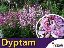 Dyptam, Krzew Mojżesza (Dictamnus faxinella) nasiona