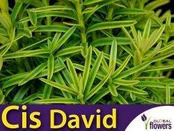 Cis 'David' (Taxus baccata) Sadzonka