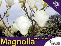 Magnolia 'Alba Superba' (Magnolia ×soulangeana) Sadzonka