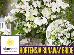Hortensja RUNAWAY BRIDE ® 'Snow White' (Hydrangea hybrid) Duża Sadzonka XL-C5