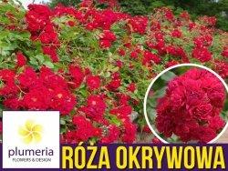 Róża okrywowa czerwona Fairy Dance HARWARD (Rosa) Sadzonka C2