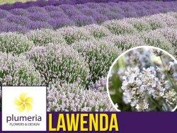 Lawenda BIAŁA (Lavandula angustifolia) Sadzonka C1,5