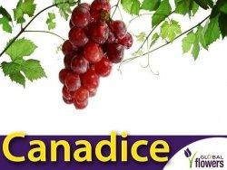 Winorośl Canadice Sadzonka - odmiana bezpestkowa Vitis 'Canadice'