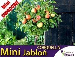 DRZEWKO MINI OWOCOWE Mini Jabłoń 'Corquella' (Malus) Sadzonka C3,5