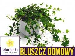 Bluszcz domowy (Hedera helix) Roślina domowa. Sadzonka P12 - M