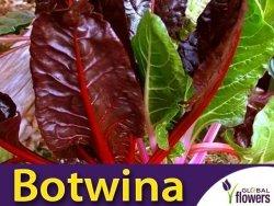 Burak liściowy Rhubard Chard czerwonolistny (Beta vulgaris var.conditiva) 5 g