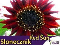 Słonecznik ozdobny (Helianthus annus) Red Sun czerwony 2g