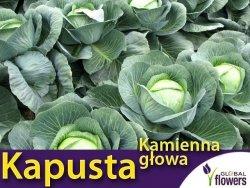 Kapusta późna Kamienna Głowa L 50g (Brassica oleracea Convar. Capitata var. Alba)
