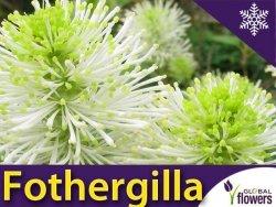 Fotergilla większa (Fothergilla major) Sadzonka 25-40cm