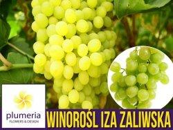 Winorośl IZA ZALIWSKA odmiana deserowa (Vitis) Sadzonka C2