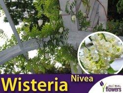 Wisteria amerykańska NIVEA (Wisteria frutescens) 3 letnia Sadzonka 60-80cm