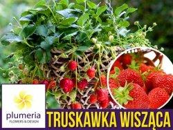 Truskawka Pnąco-wisząca 'Toscana' (Fragaria x ananassa) Sadzonka