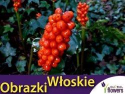 Obrazki włoskie (Arum italicum) CEBULKA (3 szt.)