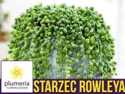 Starzec ROWLEYA sznur pereł (Senecio rowleyanus) Roślina domowa. Sadzonka P12 - M