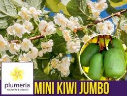 Mini Kiwi JUMBO ♀ (Aktinidia ostrolistna) Sadzonka C1