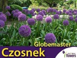 Czosnek Globemaster ® (Allium Globemaster) CEBULKA 1 szt