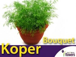 Koper ogrodowy Bouquet  (Anethum graveolens) XXL 500g