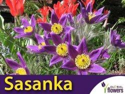 Sasanka zwyczajna fioletowa (Pulsatilla vulgaris) nasiona