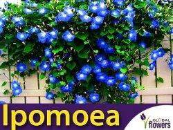 Wilec Heavenly Blue- Niebiańskie Pnącze (Ipomoea tricolor) nasiona 2g