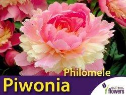 Piwonia chińska 'Philomele' (Peonia lactiflora) CEBULKA