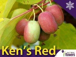 Aktinidia ostrolistna Sadzonka Kiwi Ken's Red - odmiana żeńska