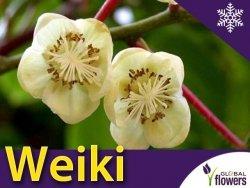 Aktinidia ostrolistna Sadzonka Kiwi Weiki - odmiana (męska) zapylająca