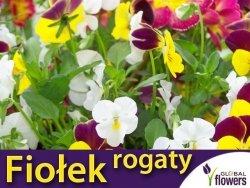 Fiołek rogaty, mieszanka (Viola cornuta) nasiona 0,5g