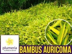 Bambus okrywowy Mrozoodporny Plejoblast AURICOMA (Pleioblastus viridistriatus) Sadzonka C2
