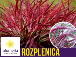 Rozplenica FIREWORKS (Pennisetum setaceum) Sadzonka