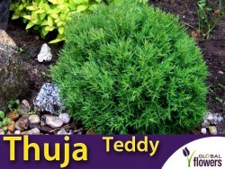 Tuja Żywotnik zachodni 'Teddy' (Thuja occidentalis) Sadzonka