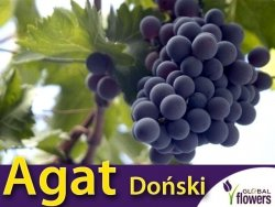 Winorośl Agat Doński Sadzonka - odmiana deserowa Vitis 'Agat Doński'