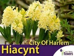 Hiacynt Wschodni 'City Of Harlem' (Hyacinthus) CEBULKI 2 szt