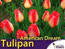 Tulipan Darwina 'American Dream' (Tulipa) CEBULKI 5 szt